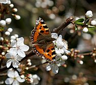 Small Tortoiseshell on Blackthorn
